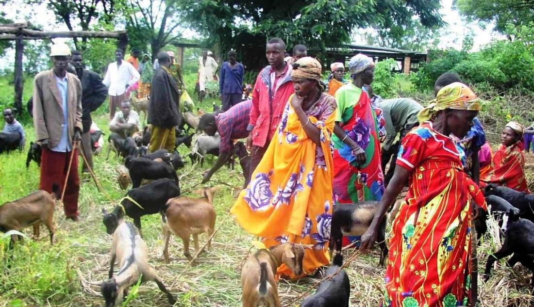 karuzi_burundi_goats