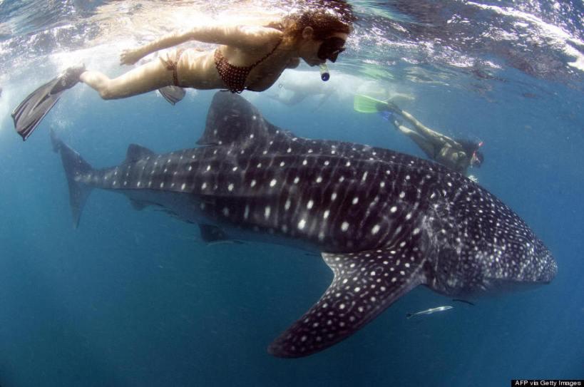 Tourists follow a huge whale shark, near