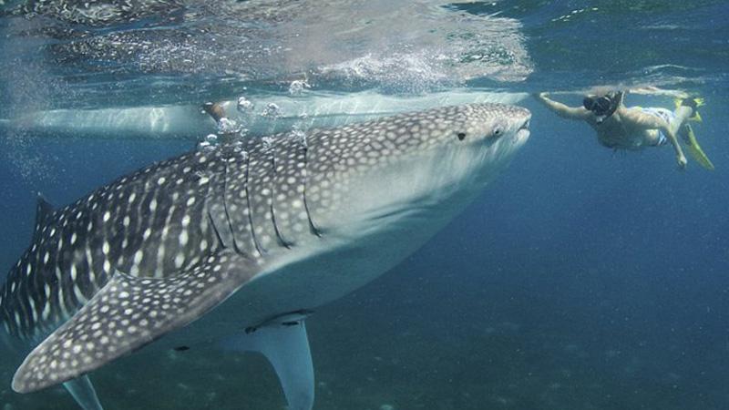 whale-sharks-oslob1